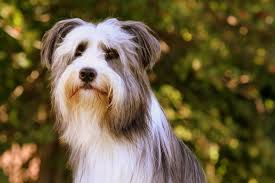 bearded collie and border collie mix power tripp the shaggy dogs