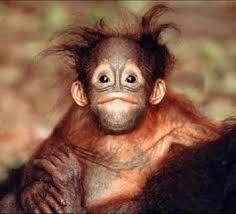Monkey Meme - create meme monkey monkey meme monkey orangutan pictures