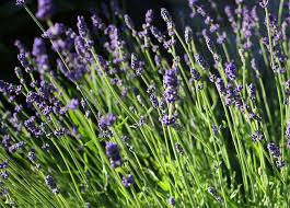 Most Fragrant Lavender Plant - growing lavender learn how to plant grow u0026 care for lavender