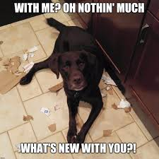 Oh You Dog Meme Generator - image tagged in chuckie the chocolate lab trouble funny dog memes