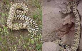 here are the snakes you u0027ll find in idaho idaho statesman