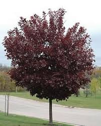 ornamental trees for sale colorado
