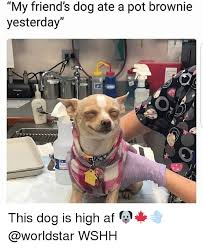 High Dog Meme - my friend s dog ate a pot brownie yesterday this dog is high af
