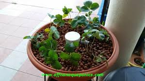 affnan s aquaponics equatorial lowland strawberry project