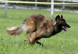 belgian sheepdog pups about dog belgian tervuren