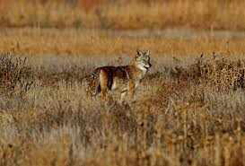 Kansas wildlife images Tomblandford photo keywords coyote images jpg