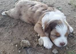 australian shepherd ksl bdh aussies australian shepherds ksl420170605 red dawg litter