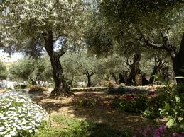file olive trees in the traditional garden of gethsemane
