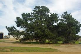australian native plant identification pine tree images agriculture and food