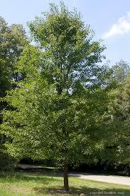 aristocrat callery pear tree 822952 tangsphoto stock