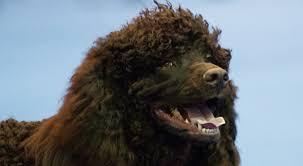 american eskimo dog ireland irish water spaniel dog breed information american kennel club