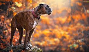 gta 5 boxer dog stone dog collar dog blurry background boxer for phone