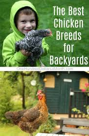 Best Backyard Chicken Breed by What Are The Best Chicken Breeds For Backyards One Hundred