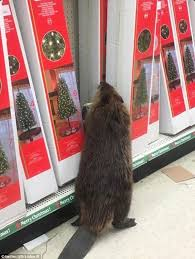 beaver spotted in a maryland dollar store searching for artificial