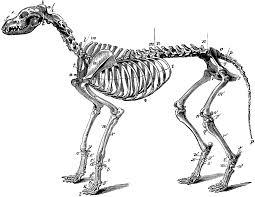 skeleton of a dog clipart etc