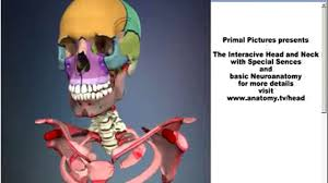 Primal Anatomy App Primal Pictures 3d Head And Neck Anatomy With Special Senses And