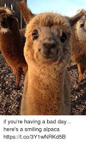 Alpaca Meme - if you re having a bad day here s a smiling alpaca