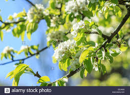 pear tree in spring season blossoming pear background stock photo
