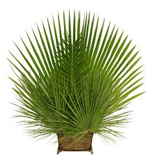 palms for palm sunday palm gardens palm sunday palm churchsupplies