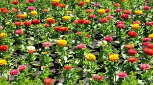 Zinnia Flowers Zinnia Flowers Wallpaper