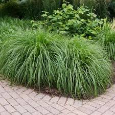 ornamental grass product plant type breezy hill nursery