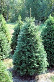 living color landscape u0026 nursery christmas trees commercial