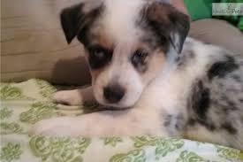 australian shepherd for sale los angeles happy australian cattle dog blue heeler puppy for sale near