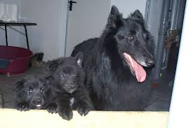 belgian sheepdog groenendael breeder groenendael puppies little dog breeds puppies groenendael