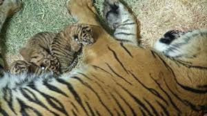 san diego zoo celebrates birth of 3 sumatran tiger cubs abc7