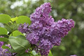 tips for growing lilac bushes