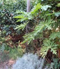 pick a plant day u2013 crazy plants in my garden u2013 klip dagga
