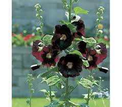 hollyhock flowers hollyhocks alcea perennial flowers white flower farm