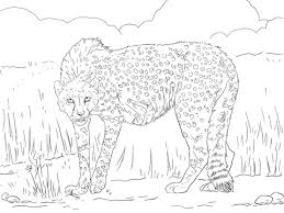 asiatic cheetah coloring free printable coloring pages