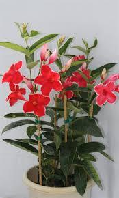 38 best flores mandeville images on pinterest gardens flowers