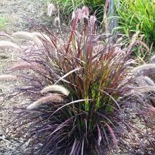 graceful grasses rubrum pennisetum grass purple