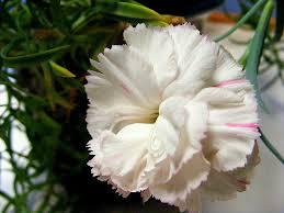 carnations flowers carnation flowers