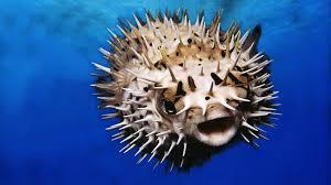 pufferfish closeup ngsversion 1427141760081 adapt 1900 1 jpg