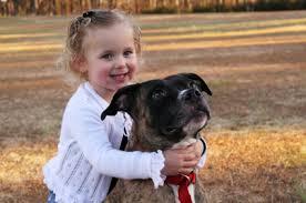 american pitbull terrier dog images pit bull terrier dog breed information on pit bull terriers