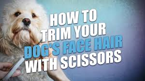how to cut a shichon s hair how to trim your dog s face hair with scissors youtube