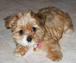 bichon frise vs yorkie best 25 yorkie shih tzu mix ideas only on pinterest bear puppy