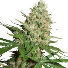cannabis flower types of marijuana sativa indica and ruderalis