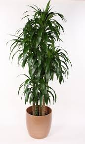 dracaena google search plants pinterest plants
