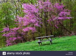 redbud tree bloomed out in spring time brown county indiana stock
