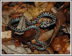 short tailed kingsnake florida backyard snakes