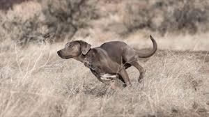 bluetick coonhound dog american bluetick coonhound vs american blue lacy temperament tds