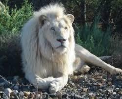 rare white lions get wild
