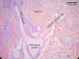 Anatomy Slides Histology Epithlium Lab Scalp Slide