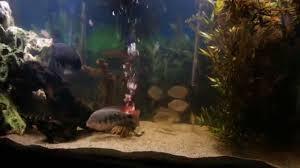 aggressive cichlid tank