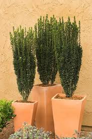sky pencil trees for sale garden goods direct