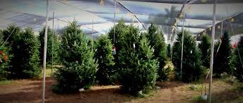 hart t tree farms christmas tree lot margate florida